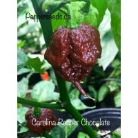 Carolina Reaper Chocolate Pepper Seeds
