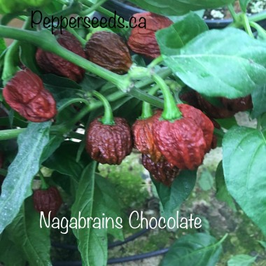 Nagabrains chocolate