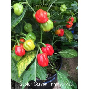 Scotch bonnet trinidad red