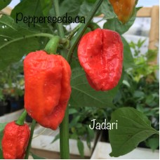 Jadari Pepper Seeds