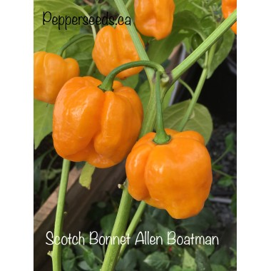 Scotch Bonnet Allen Boatman Pepper Seeds