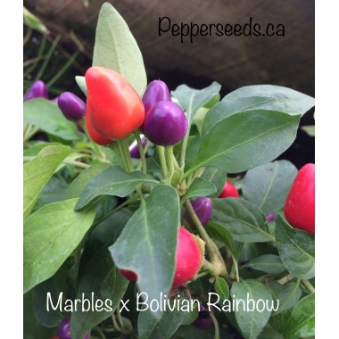 Marbles x Bolivian Rainbow Pepper Seeds