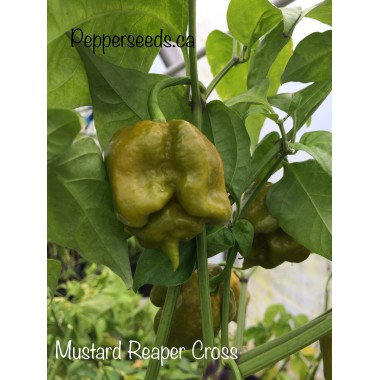 Mustard Reaper Cross Pepper Seeds