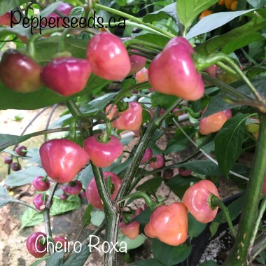 Cheiro Roxa Pepper Seeds