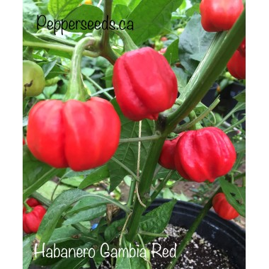 Habanero Gambia Red