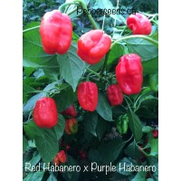 Red Habanero x Purple Habanero Pepper Seeds
