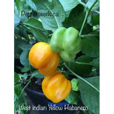 West indian Yellow Habanero