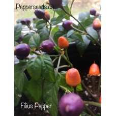 Filius Pepper Seeds