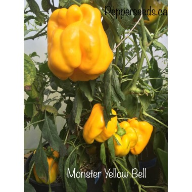 Minster yellow bell
