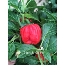 Stuffing Scotch Bonnet Pepper Seeds