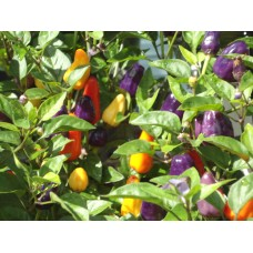 Chinesse-5-Color Pepper Seeds