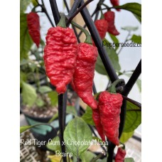 Red Gum Tiger x Chocolate Naga Brains Pepper Seeds