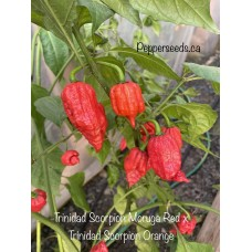 Trinidad Scorpion Moruga Red x Trinidad Scorpion Orange Pepper Seeds
