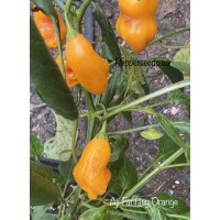 Aji Fantasy Orange Pepper Seeds