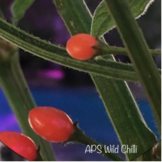 APS Wild Chilli Pepper Seeds