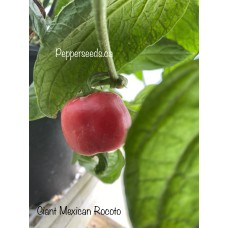 Giant Mexican Rocoto Pepper Seeds