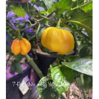 7-Pot White x Big Yellow Mama Pepper Seeds