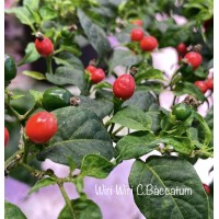 Wiri Wiri C.Baccatum Red Pepper Seeds