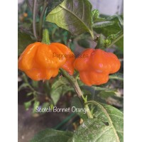 Scotch Bonnet Mix Pepper Seeds