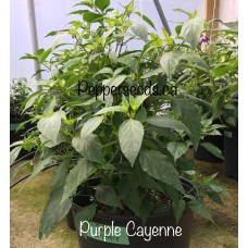 Cayenne Purple Pepper Seeds