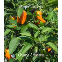 APS Jalapeno Orange Pepper