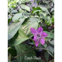 Czech Black Pepper Seeds