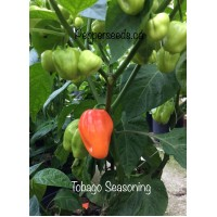 Tobago Seasoning Pepper Seeds