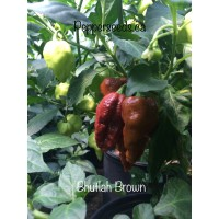 Bhutlah Brown Pepper