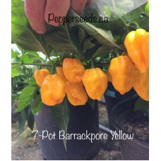 7-Pot Barrackpore Yellow Pepper Seeds