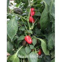 Atlantic Mini Red Pepper