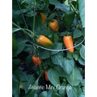 Atlantic Mini Orange Pepper