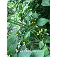 Aji Charapita Pepper