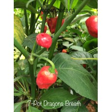 7-Pot Dragon's Breath Pepper