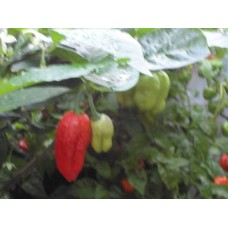 Aji Cajamarca Pepper Seeds