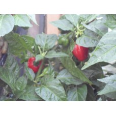 Aji Dulce Red Pepper Seeds